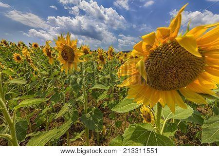 sunflower field under blue sky and big shame sunflower close