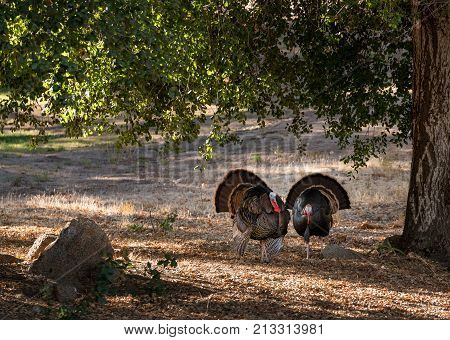 Close up of wild turkey strutting with tail feathers in fan across sun dappled field