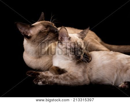 Tortie point Siamese cat getting a good cleaning from a chocolate point, on dark background
