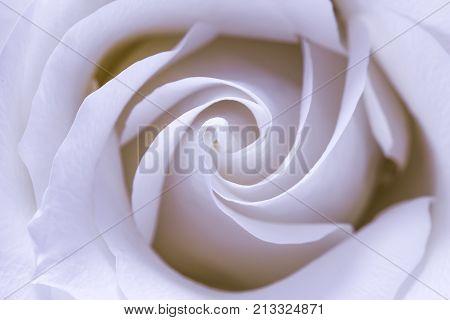 Valentines day gift. Fragile white rose. Macro