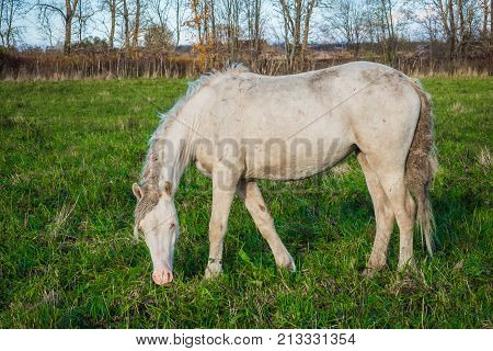 White wild horse is groomed and unkempt grazing in the meadow. Idyllic peaceful world of animals.