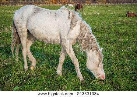 Wild horses groomed and unkempt mane and tail, the wounds from fights - grazing in the meadow. The world and the animal life outside of human civilization.