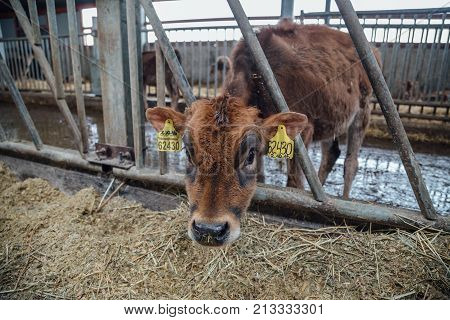 Cute calf of diary Jersey breed. Brown calf in livestock stall eating straw.