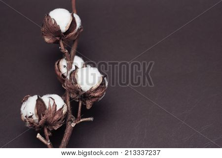 Dried White Fluffy Cotton Flower Top View