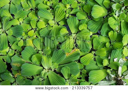 Common duckweed Lemna minor, full frame texture structure