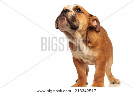 little english bulldog puppy standing and looks up at something on white background