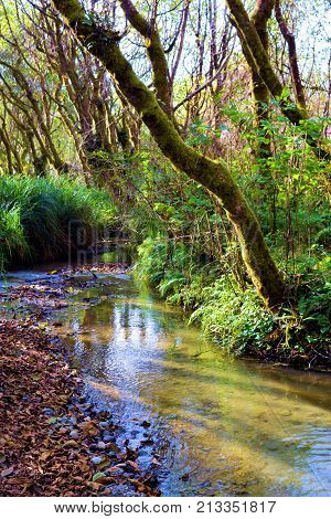 Creek and lush green fern plants surrounding trees with moss taken at a temperate forest in the rural Northern California Coast