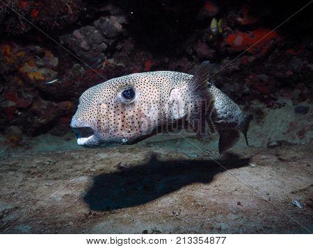Portrait of Porcupine Fish in Playa del Carmen
