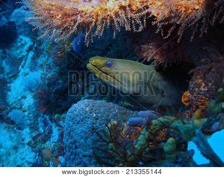 Portrait of Green Moray Eel in Playa del Carmen