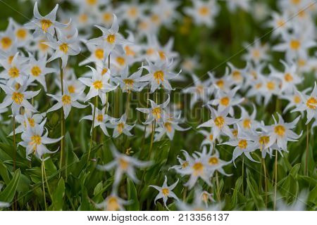Avalanche Lilies Blooming in alpine meadow below Mount Rainier