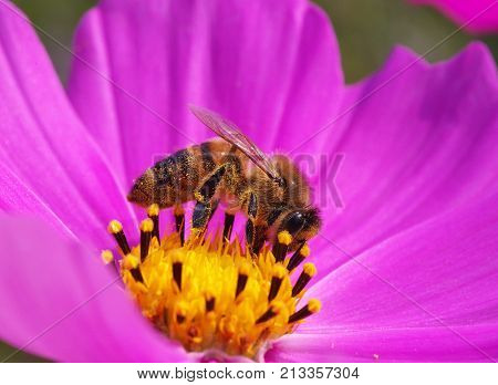 Honeybee on pink and yellow cosmos flower