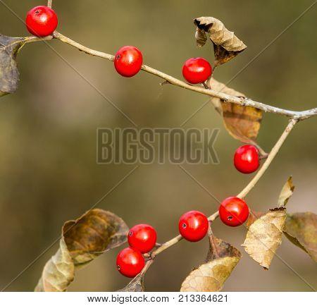 Red Mistletoe in Belmont Lake State Park Long Island New York