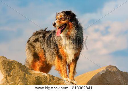 Australian Shepherd Standing On A Rock