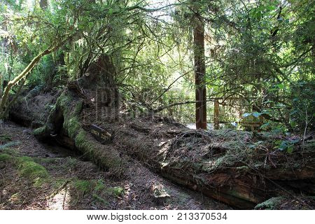 Fallen giant in Trees of Mystery national park in USA