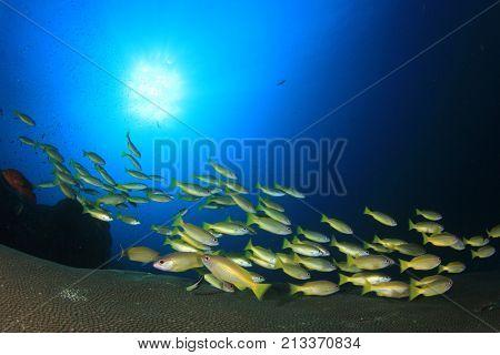 Fish school underwater. Bigeye Snappers on coral reef