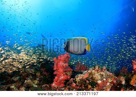 Coral reef and tropical fish. Emperor Angelfish