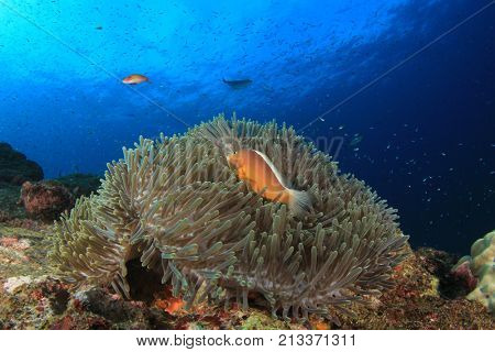 Skunk Anemonefish (Clownfish) on sea anemone on coral reef