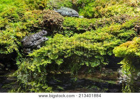 closeup of European toads mating on wet moss