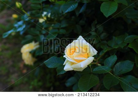 Beautiful yellow garden roses. Rose Bush in the garden. Yellow and white roses on the bushes. Pale and delicate yellow rose on the bush. Caring for garden shrubs roses. Wallpaper for desktop, foto for calendar