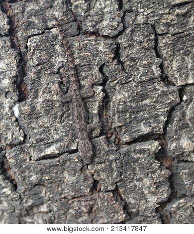 Leaf tailed Gecko, mimicry, lizard on textured tree bark
