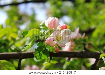 The Apple trees are blooming pink flowers. Apple flowers are blooming in sky background. Apple blossoms in the sun. White Apple tree blossoms. The Apple tree twig with white flowers. Spring flower background. Apple tree in bloom
