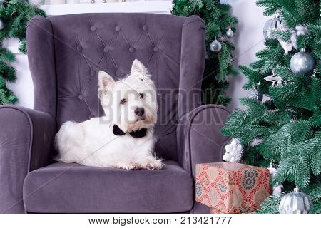 West highland white terrier dog as symbol of 2018 New Year with black bow tie lying on sofa and Christmas pine tree with gifts on background