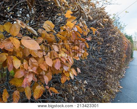 beech autumn leaves on a hedge Fagus sylvatica. Most of the leaves have fallen off poster