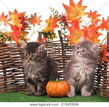 Cute fluffy kitten near decorative wattle fence over white background