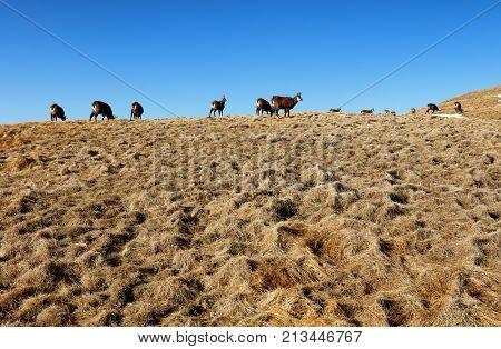 Herd of chamois in mountain Tatras, Slovakia