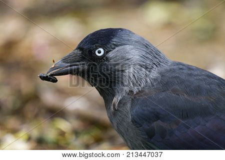 A Jackdaw with a small black insect grub stuck to it's beak poster