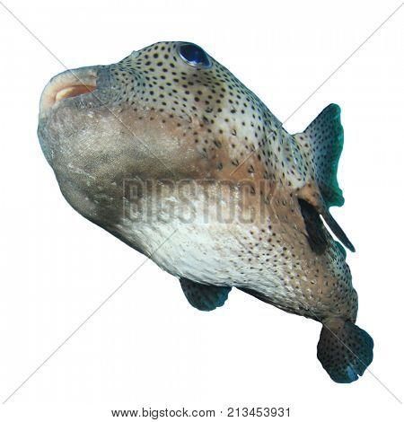 Porcupinefish puffer fish isolated on white background