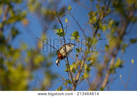 Red whiskered Bulbul Bird on Tree Pycnonotus jocosus poster