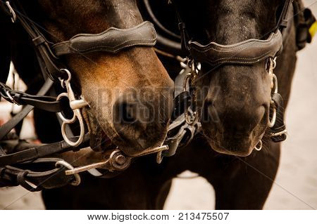 Close up portrait of two beautiful and thoroughbred brown horses in a harness. Horse concept