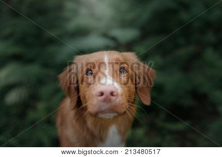 Dog Nova Scotia duck tolling Retriever in nature looking at the camera