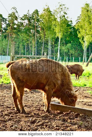 big aurochs in wildlife sanctuary, square composition poster