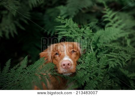 Dog Nova Scotia Duck Tolling Retriever In The Fern