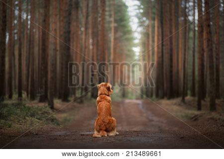 The Nova Scotia duck tolling Retriever dog sitting on the path in the woods