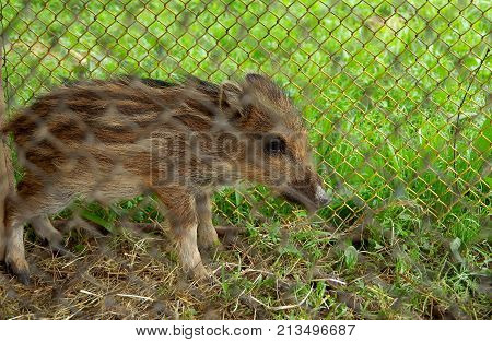 Small wild piglet caught in a captivity