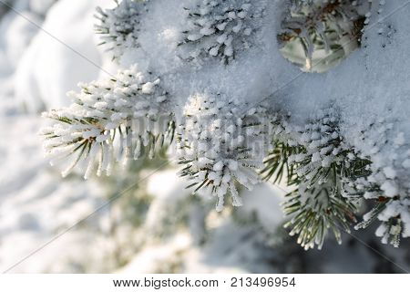 Winter Snowy Pine Christmas Tree Scene. Fir Branches Covered With Hoar Frost Wonderland. Winter Is C