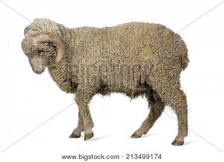 Arles Merino sheep, ram, 1 year old, walking in front of white background