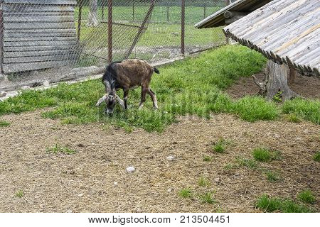 The goat pinches the green grass in a fenced enclosure