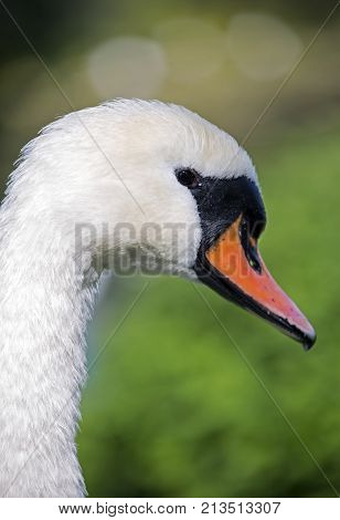 close up of a swans head neck and beak