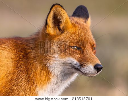 Head Shot Of Red Fox
