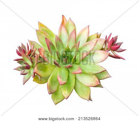 Miniature succulent plants isolated