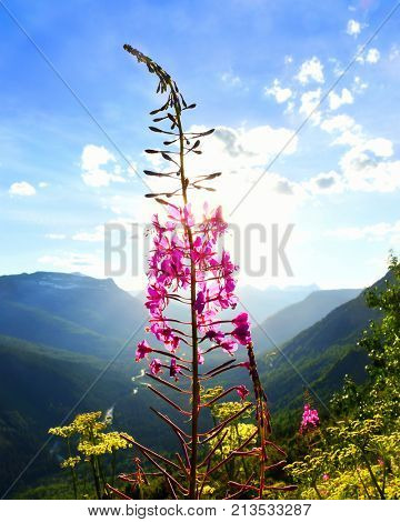 Fireweed flower set against the sun above a mountain valley in Glacier National Park, Montana