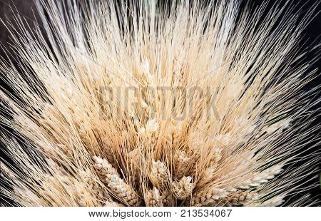 over head shot of wheat stalks spray across the top of image with black background.