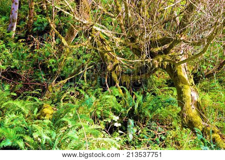 Trees with moss including plants and ferns taken in a lush green temperate rain forest