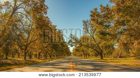 Pecan tree  lined roadway in Southern Georgia