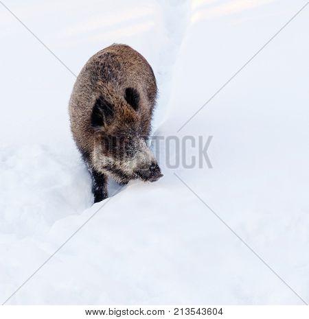 Wild boar in a snow.