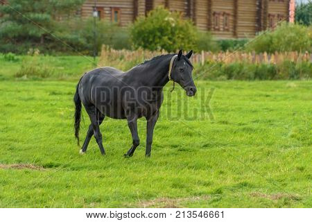 A Black Horse Walks On A Green Lawn In The Fall.